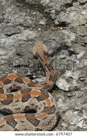 A large Missouri timber rattlesnake photographed from a high angle to show the cryptic chevron pattern on it's back. - stock photo