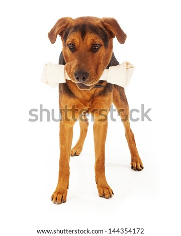 A large mixed breed dog with a big rawhide bone in his mouth. Isolated on a white background. - stock photo