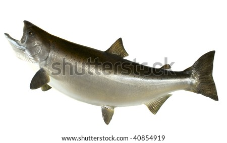 A large mounted Chinook (king) Salmon in its summer colors - stock photo