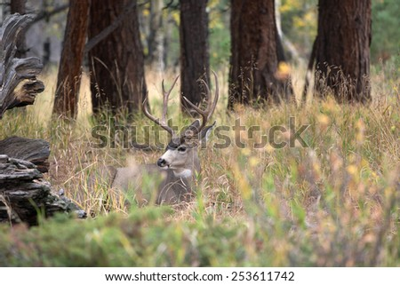 A large mule deer buck standing in a meadow with aspen trees in the background in Rocky Mountain National Park near Estes Park, Colorado - stock photo