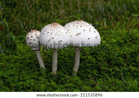 A large mushroom grown on top of grass after a rain - stock photo