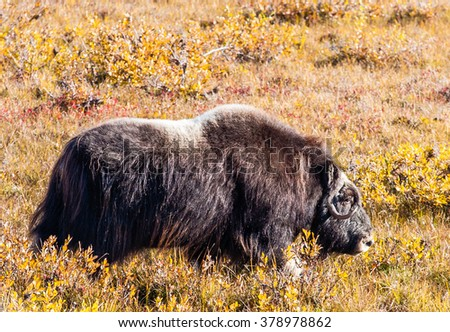 A large musk ox in Alaska - stock photo
