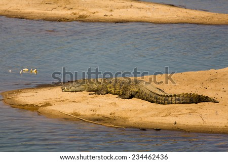 A large Nile crocodile, Crocodylus niloticus, lying in the sun on a sand bank in the Kruger National Park, South Africa. - stock photo