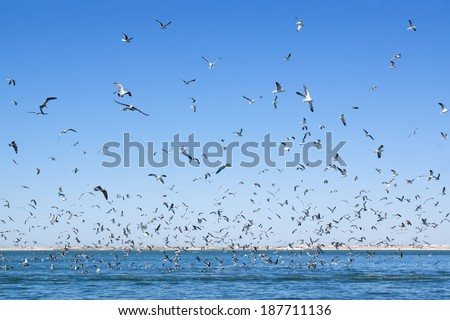 A large number of seagulls flying over the sea surface. Sunny day. - stock photo