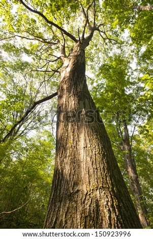 A large Oak Tree - stock photo