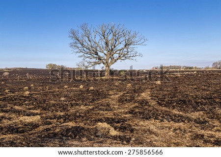 A large oak tree, although bare, still stands following a prairie fire - stock photo