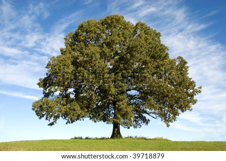 A large old Oak Tree with beautiful blue sky with clouds in the background, horizontal with copy space - stock photo