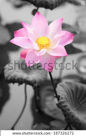A Large Pink Lotus Isolated in Black and White - stock photo