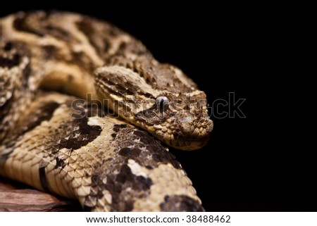 A Large Rattlesnake against black
