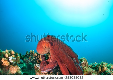 A large red Octopus on a tropical coral reef with sun behind - stock photo