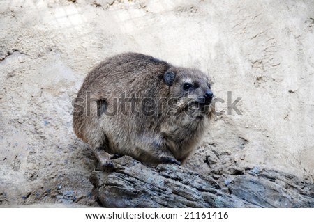 A large rodent nutria in south africa