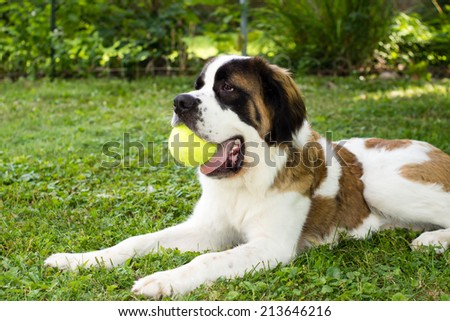 A large saint bernard dog lays in a yard and plays with a tennis ball - stock photo