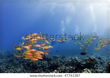 A large school of goat fish over a coral reef.