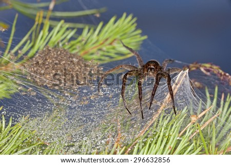A large Swedish spider guarding her children - stock photo