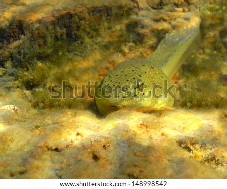 A large tadpole rests peacefully in a lake.                                    - stock photo