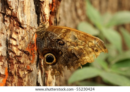 A large tatty Owl Butterfly on a tree - illustrating its superb camouflage - stock photo