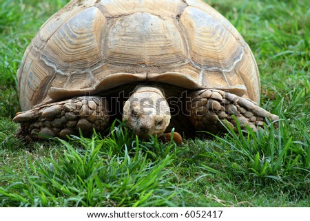 A large turtle eating the green grass under him. - stock photo