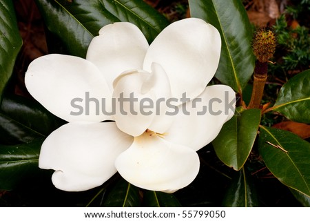 A large white blossom on a southern magnolia tree