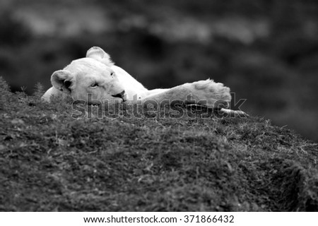 A large white lioness / lion in beautiful light in this sepia tone image from safari in South Africa - stock photo