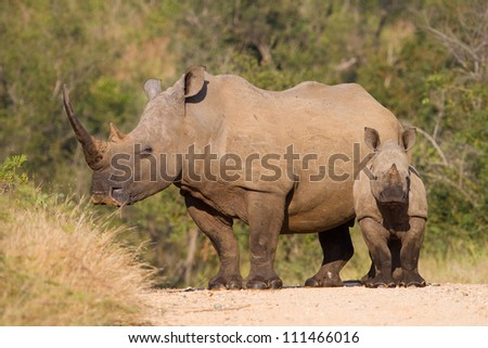 A large white rhino female with a massive horn standing next to her small calf