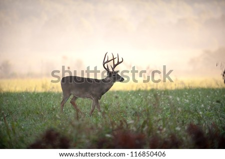 A large white-tailed deer buck in an open meadow - stock photo