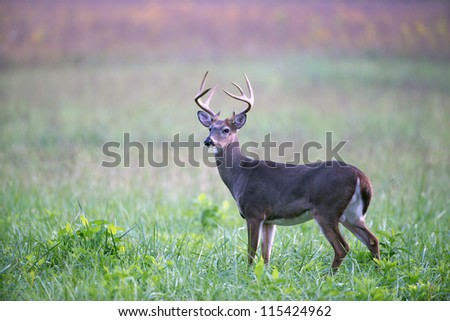 A large white-tailed deer buck walking through an open meadow - stock photo