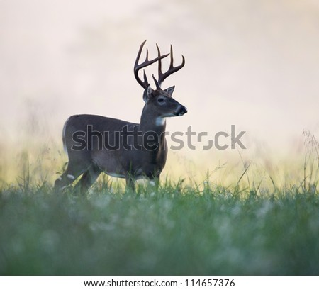 A large white-tailed deer buck walking through an open meadow on a foggy morning - stock photo