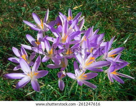 A larger group of purple crocuses with yellow pistils blooms on a meadow.   - stock photo