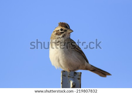 A Lark Sparrow (Chondestes grammacus) perches atop a fencepost in southernUtah.