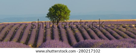 A lavender field in Provence region, France. The photo is in panoramic format and shows rows of lavender leading to a lone tree against the Alps mountain in the background. - stock photo