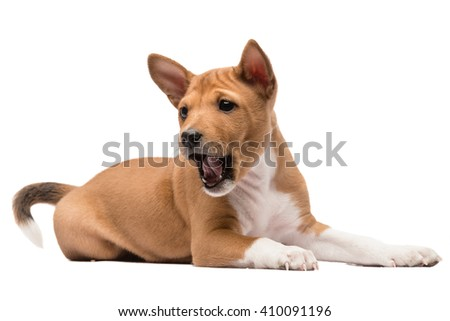 A laying basenji puppy looking down barking