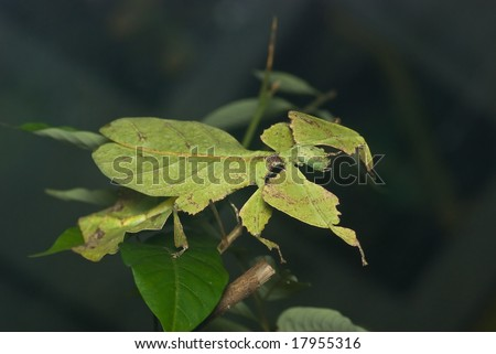 A leaf insect - stock photo