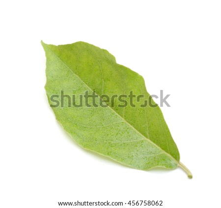 A leaf of Elaeagnus latifolia isolated on white background