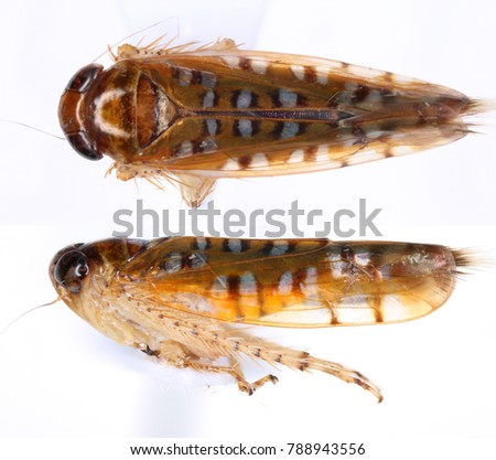 A leafhopper from the family Cicadellidae, in the top and side. Isolated