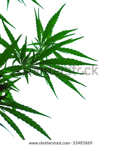 a leaves of hemp closeup on white background