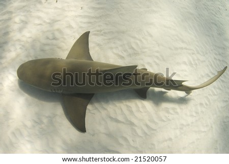 A lemon shark (Negaprion brevirostris) passes underneath along the ocean floor - stock photo