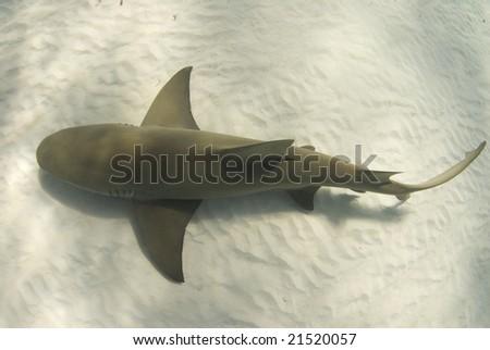 A lemon shark (Negaprion brevirostris) passes underneath along the ocean floor - stock photo