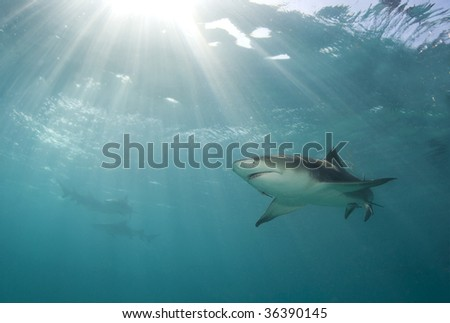 A lemon shark (Negaprion brevirostris) swims above as a burst of sunlight breaks through the ocean's surface