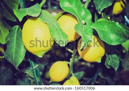 A lemon tree in the Citrus Limon family vintage look - stock photo