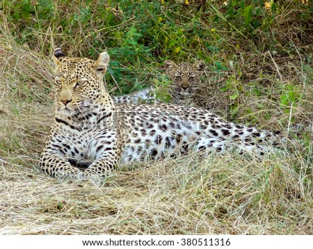 a leopard and kitten resting on the ground in the Moremi Game Reserve in Botswana, Africa