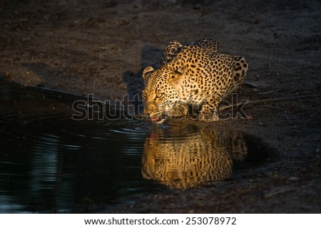 A leopard drinking from a waterhole at night - stock photo