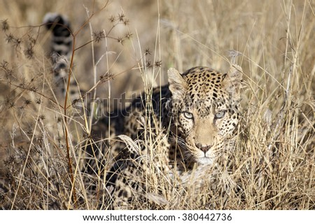 A leopard hunting in long grass