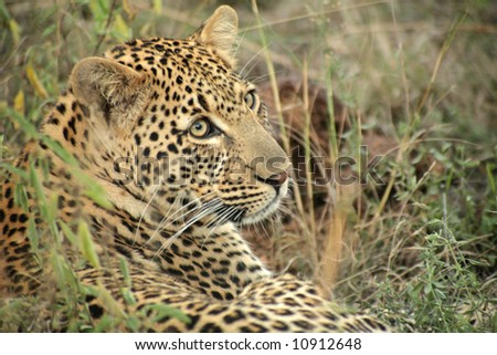 A leopard in the Sabi Sands Private Game Reserve, South Africa