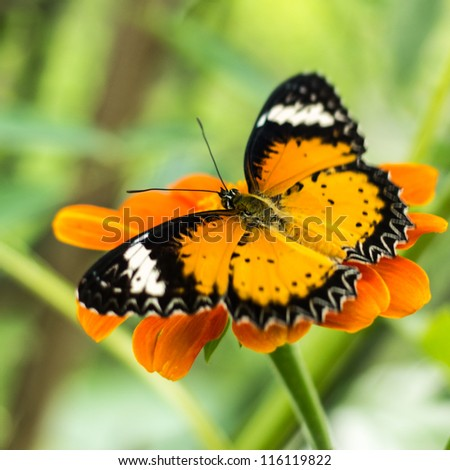 a leopard lacewing that catching on some orange flower with its wing widely spreading - stock photo