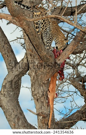 A leopard (Panthera pardus) with its impala antelope prey in a tree, Sabie-Sand nature reserve, South Africa  - stock photo
