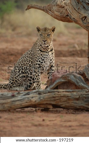 A leopard sitting near a tree, Namibia, Africa