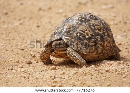 A leopard tortoise crossing a gravel road - stock photo