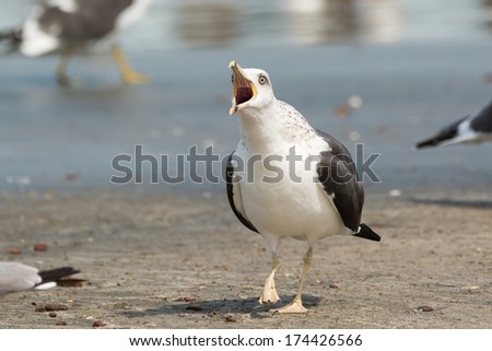 A Lesser Black-Backed Gull (Larus fuscus) screeching on the beach - stock photo
