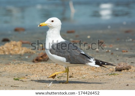 A Lesser Black-Backed Gull (Larus fuscus) stepping on the beach - stock photo