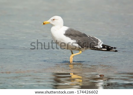A Lesser Black-Backed Gull (Larus fuscus) walking in the surf - stock photo